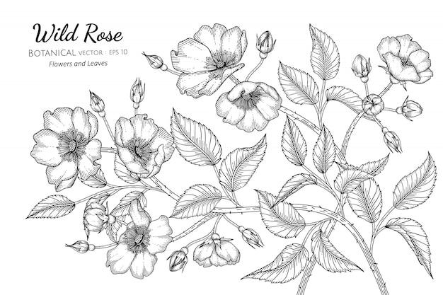 Illustrazione botanica disegnata a mano rosa selvaggia della foglia e del fiore con la linea arte su bianco
