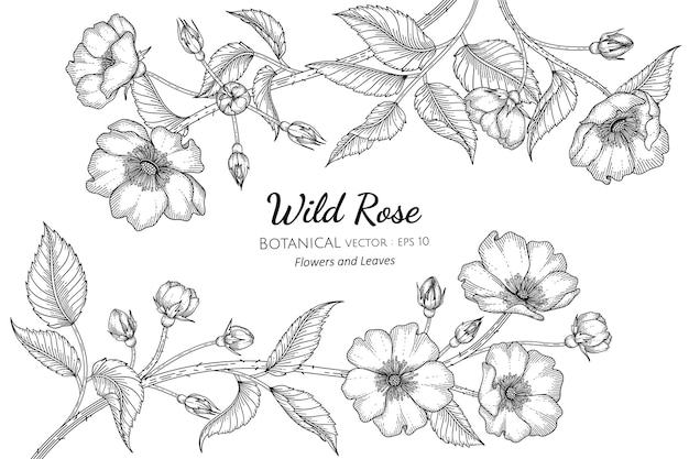Illustrazione botanica disegnata a mano del fiore e della foglia della rosa selvatica con la linea arte