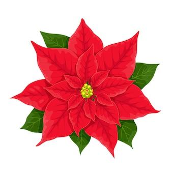 Fiore rosso di natale della stella di natale