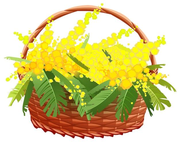 Cestino di mimosa giallo isolato su bianco