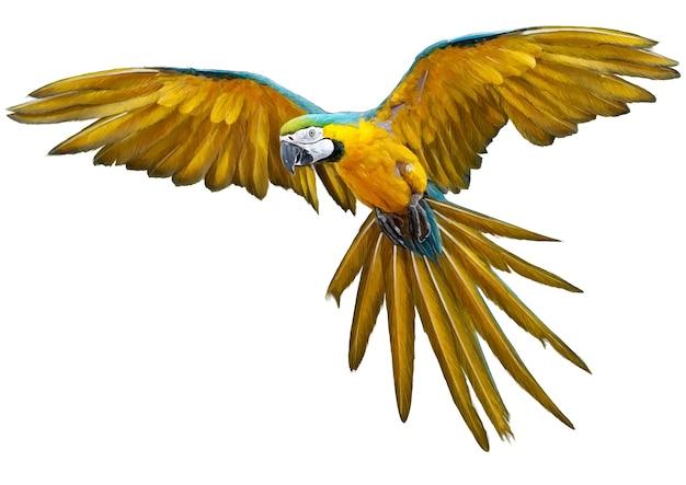 Tiraggio della mano di volo del pappagallo giallo e pittura su bianco.