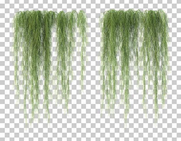3d-weergave van casuarina glauca
