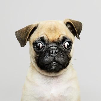 Aanbiddelijk pug puppy solo portret