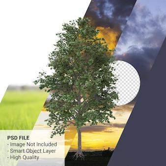 Acer saccharum o árbol de arce de azúcar 3d render aislado sobre fondo transparente