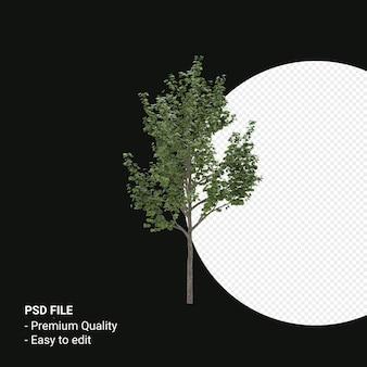 Acer saccharum of suiker esdoorn 3d render geïsoleerd op transparante achtergrond