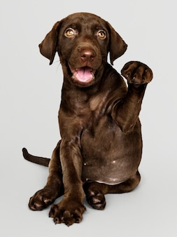 Adorable chocolate retrato de labrador retriever