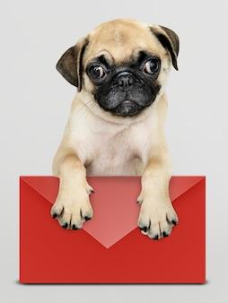 Adorable pug cachorro con una maqueta de sobre rojo