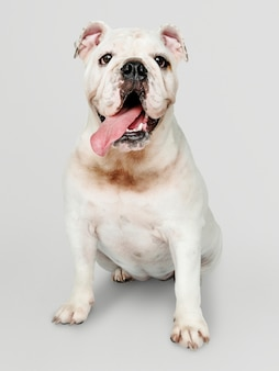 Adorable retrato de cachorro de bulldog blanco