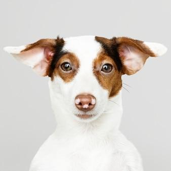 Adorable retrato de cachorro de jack russell retriever