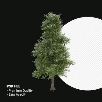 Alnus cordata of italiaanse elzenboom 3d render geïsoleerd op transparante achtergrond