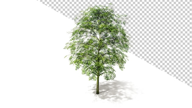 Big leaf maple tree met geïsoleerde boom 3d render