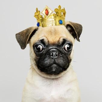 Cachorro de pug con corona