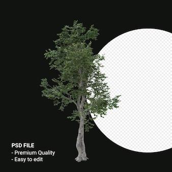Camptotheca acuminata boom 3d render geïsoleerd op transparante achtergrond
