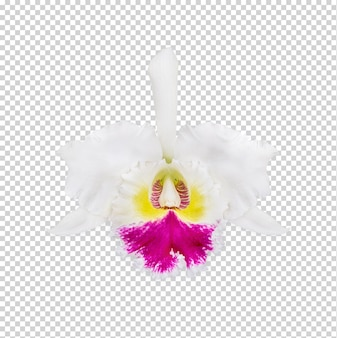 Cattleya orchidee hybriden geïsoleerd premium psd