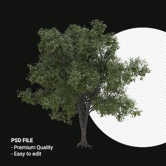 Celtis occidentalis jonge boom 3d render geïsoleerd op transparante achtergrond