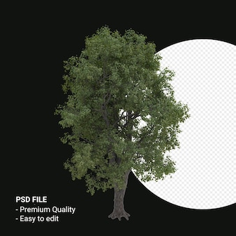 Celtis occidentalis of hackberry tree 3d render geïsoleerd op transparante achtergrond