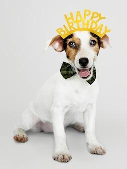 Cucciolo adorabile di jack russell retriever che indossa una corona di buon compleanno