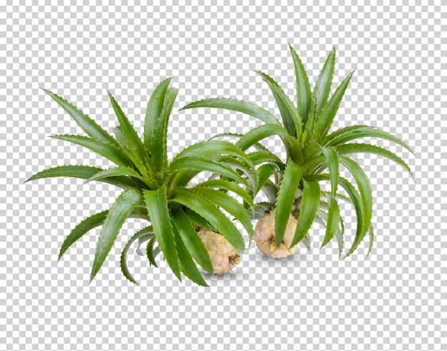 Dwerg ananas geïsoleerd premium psd