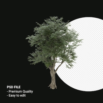 Fagus grandifolia of amerikaanse beukenboom 3d render geïsoleerd op transparante achtergrond