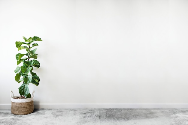 Fiddle leaf fig in een kamer