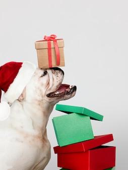 Filhote de Bulldog bonito vestindo um chapéu de Papai Noel, segurando uma caixa de presente