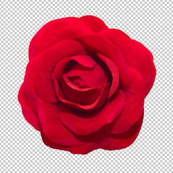 Fiori della rosa rossa sul fondo isolato della trasparenza