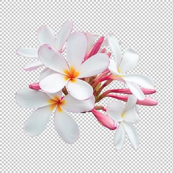 Fiori di plumeria del mazzo bianco-rosa isolati su trasparente