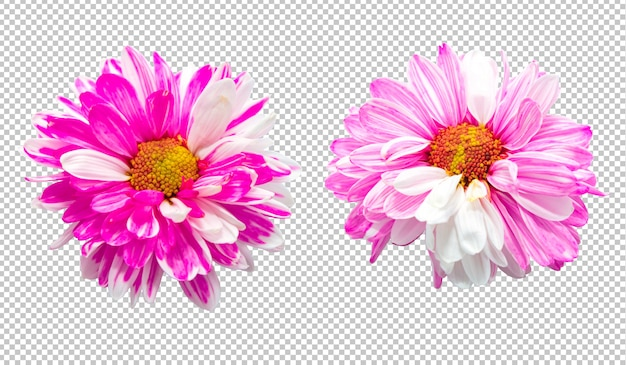 Flores de crisantemo rosa y blanco sobre fondo de transparencia aislado