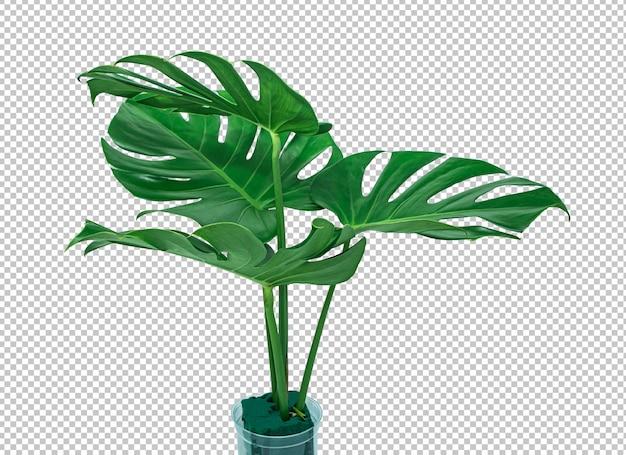 Foglia verde di monstera di bush su bianco isolato. foglie tropicali.