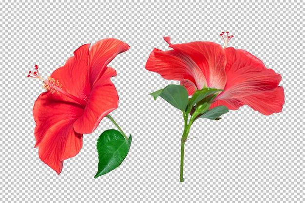 Fondo de transparencia de flor de hibisco rojo. objeto floral tropical.