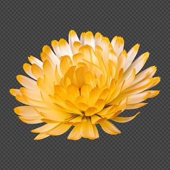 Geel witte calendula bloem geïsoleerde rendering