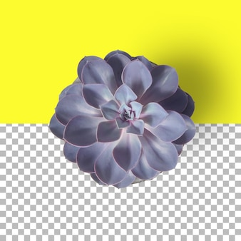 Geïsoleerde close-up weergave van paarse archeveria