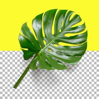 Geïsoleerde close-upmening van monstera-blad
