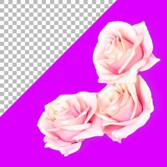 Geïsoleerde drie roze rozen