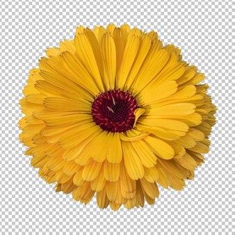 Gele calendula bloem geïsoleerde rendering