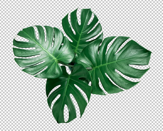 Groen monstera-blad op geïsoleerde transparantie. tropische bladeren