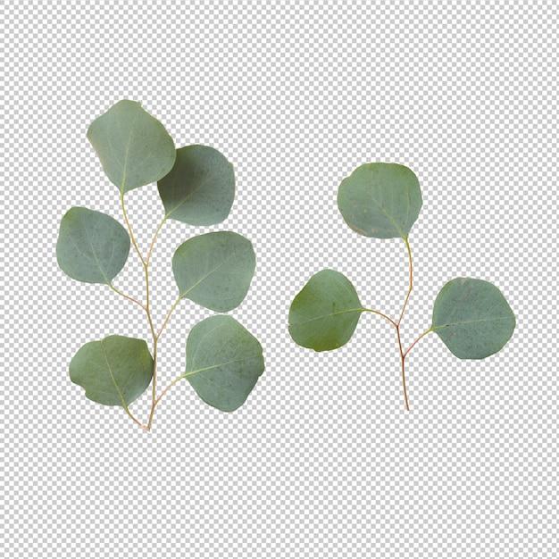 Hojas de eucalipto aisladas