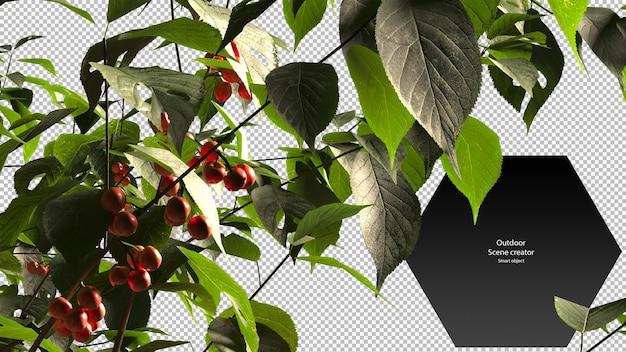Kersenboom close-up uitknippad kersenboom geïsoleerd
