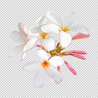 La plumeria bianco-rosa del mazzo fiorisce sul fondo isolato della trasparenza.