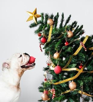 Leuk buldogpuppy die een hoed van de kerstman dragen terwijl het houden van een giftdoos