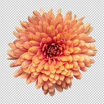 Oranje chrysant bloem geïsoleerde weergave