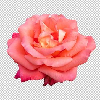 Oranje roze bloem geïsoleerde weergave