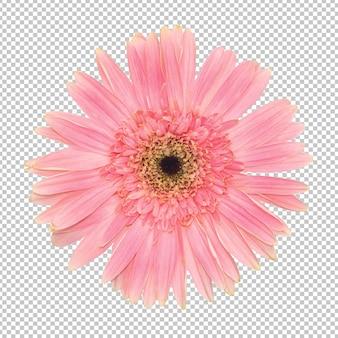 Pared de transparencia de flor rosa gerbera. objeto floral.