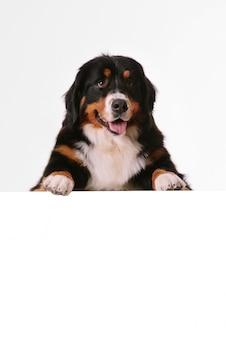 Perro de montaña bernés con banner en blanco