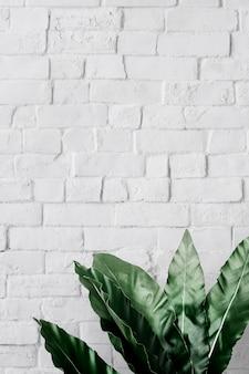 Philodendron xanadublad
