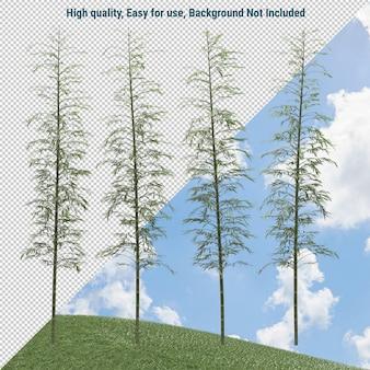 Phyllostachys bomen geïsoleerd