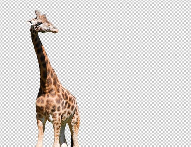 Realistische giraffe