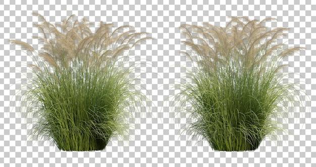 Rendering 3d di silvergrass nubile