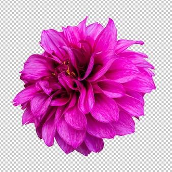 Representación aislada de la flor rosada de la dalia