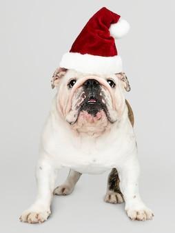 Retrato de un perrito lindo del dogo que lleva un sombrero de papá noel